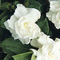 Gardenia Jasminoides 1 packet (20 seeds)
