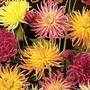 Dahlia Variabilis Cactus Hybrids Mixed 1 packet (56 seeds)
