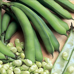 Broad Bean Optica Seeds