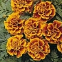 Marigold 'Golden Gate' 1 packet (60 seeds)