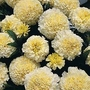 Marigold 'French Vanilla' 1 packet (20 seeds)