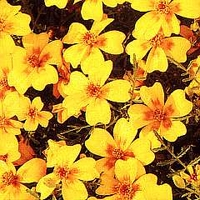 French Marigold Golden Gem 1 packet (300 seeds)