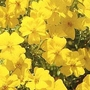 Marigold 'Lemon Gem' 1 packet (300 seeds)