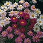 Pyrethrum T&M Superb Mixture 1 packet (100 seeds)