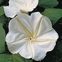 Ipomoea Alba 1 packet (15 seeds)