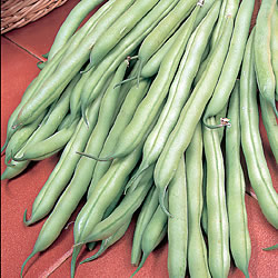 French Bean Sonesta Seeds - Dwarf