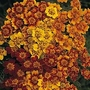 Marigold 'Starfire' 1 packet (300 seeds)