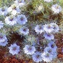 Nigella Damascena Miss Jekyll 1 packet (685 seeds)