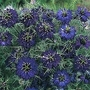 Nigella Damascena Oxford Blue 1 packet (200 seeds)