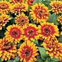 Zinnia Elegans Swizzle Scarlet & Yellow 1 packet (10 seeds)