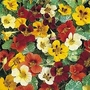 Nasturtium 'Jewel Of Africa' 1 packet (25 seeds)