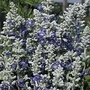 Salvia Farinacea Strata 1 packet (80 seeds)