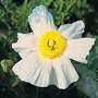 Romneya Coulteri 1 packet (25 seeds)