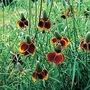 Ratibida Columnifera Red Midget 1 packet (500 seeds)