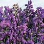 Aconitum Carmichaelii 1 packet (50 seeds)