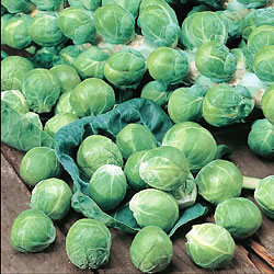 Brussels Sprout Cromwell Seeds