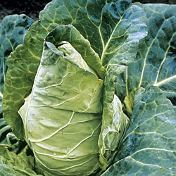 Cabbage Durham Early Seeds (Spring)