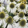 Echinacea Purpurea White Swan 1 packet (50 seeds)