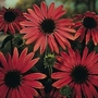 Echinacea Purpurea Magnus 1 packet (30 seeds)