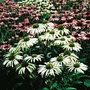 Echinacea Purpurea Lustre Hybrids 1 packet (25 seeds)