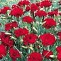 Dianthus Caryophyllus Fenbow Nutmeg Clove 1 packet (20 seeds)