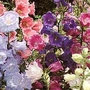 Campanula Medium Canterbury Bells Mixed 1 packet (850 seeds)