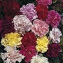Dianthus Caryophyllus Giant Chabaud Mixed 1 packet (200 seeds)