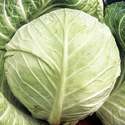 Cabbage Primo Seeds (Summer)