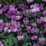 Cyclamen Coum Hybrids 1 packet (15 seeds)