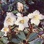 Helleborus Niger 1 packet (40 seeds)