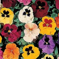 Viola X Wittrockiana Petite Mixed F1 1 packet (35 seeds)
