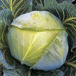 Cabbage Stallion Seeds - Autumn (Gro-sure)