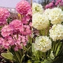 Primula Denticulata Mixed 1 packet (250 seeds)