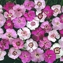 Dianthus Plumarius Ipswich Pinks Mixed 1 packet (75 seeds)