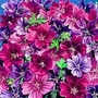 Malva Sylvestris &#x27;Mystic Merlin&#x27; 1 packet (40 seeds)