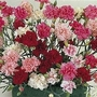 Dianthus Plumarius Sonata 1 packet (30 seeds)