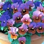 Viola x williamsii