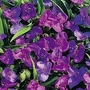 Tradescantia Andersonia Mixed Colours 1 packet (20 seeds)