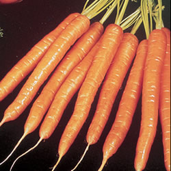 Carrot Amsterdam Sweetheart Seeds