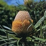 Banksia Hookeriana 1 packet (5 seeds)