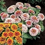 Zinnia Elegans Swizzle Duo 2 packets - 1 of each (20 seeds in total)