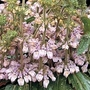 Collinsia greenii