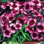 Dianthus giganteus