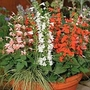 Salvia Coccinea Hummingbird Mixed 1 packet (45 seeds)