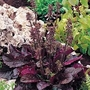 Salvia Lyrata Purple Volcano 1 packet (15 seeds)