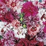 Dianthus Chinensis Edwardiana 1 packet (100 seeds)