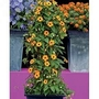 Thunbergia Alata Superstar Orange 1 packet (12 seeds)