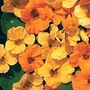 Nasturtium 'St Clements' 1 packet (25 seeds)