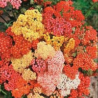 Achillea Millefolium Summer Berries F2 Hybrid 1 packet (40 seeds)