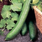 Cucumber Tasty King Seeds